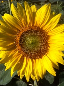 Sunflower, yellow flower, summer, queen of summer