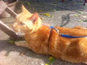 Sam watches for lizards darting out from under the porch, Orange Cat, Cat on a leash,