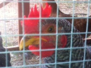Rooster, Chickens, Curious Rooster,