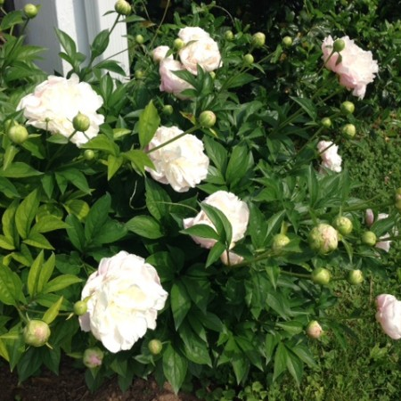The Peonies Have Popped