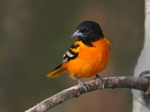 baltimore_oriole_2