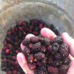 Fresh Picked Mulberries