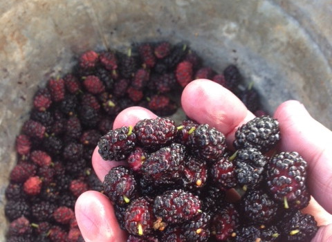 Mulberries! A Sweet Discovery